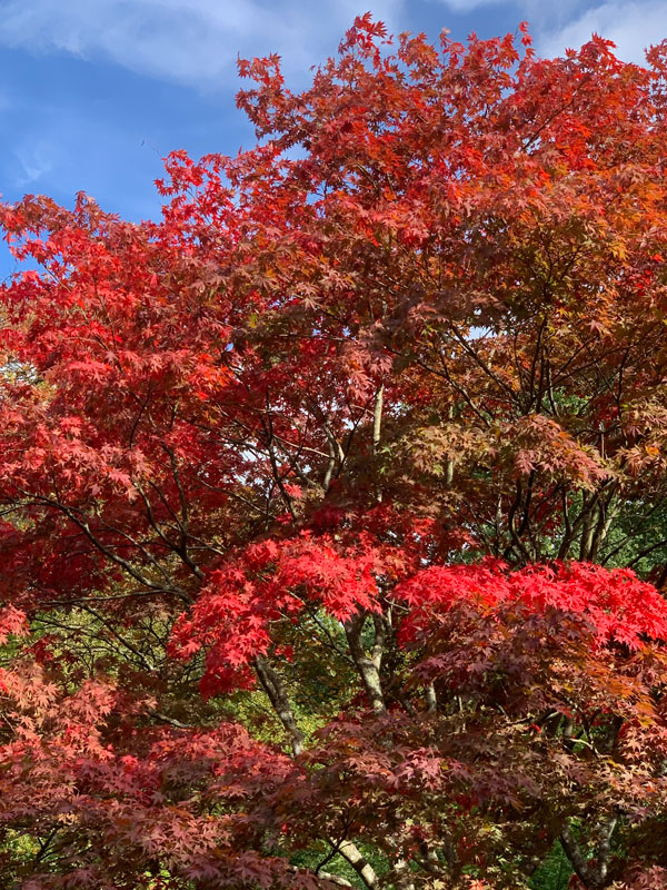 blue sky and red autumn leaves